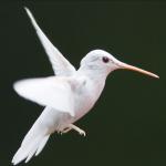 Un colibri albinos